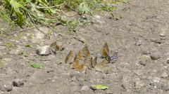 Flocks of butterflies, Many species Gathered on a sunny day. Flying butterfli Stock Footage