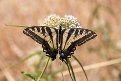 Anise Swallowtail - Papilio zelicaon - feeding off flower nectar - stock photo