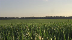 Young green crop leaves on farmland swaying in summer breeze in sunny evening Stock Footage
