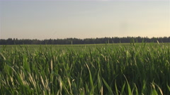 Young green crop leaves on farmland swinging in summer breeze in sunny evening Stock Footage