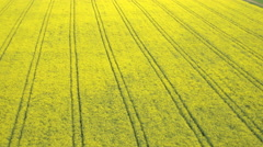 AERIAL: Amazing lush yellow oilseed rape rows in bio agricultural farm field - stock footage
