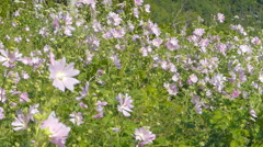 Pink meadow flowers (Malva)  swaying in the wind in summer day. Stock Footage