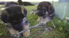 Two baby dogs playing with wooden stick outside 4K Stock Footage