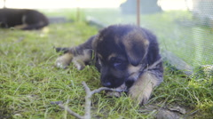 Cute little puppy lying in grass chewing wooden stick 4K Stock Footage