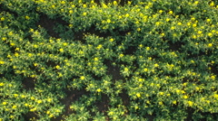 AERIAL: Lush young yellow blooming oilseed rape on cultivated farmland field Stock Footage