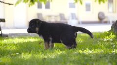 Cute puppy having a leak in grass and walk away 4K Stock Footage
