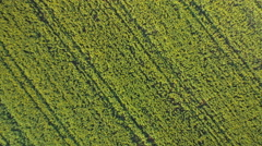 AERIAL: Young yellow oilseed rape blossoming on vast cultivated farmland field - stock footage