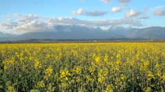 AERIAL: Young yellow vast oilseed rape flowers with mountains in background Stock Footage