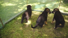 Adorable little puppies moving inside protected space outside 4K Stock Footage