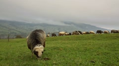 Group of Sheep Grazing Grass in Carpathian Mountains in Ukraine Stock Footage