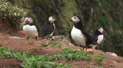 Classic shots of puffins on cliff Stock Footage