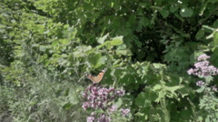 Flying butterflies. Takes off.Slow motion. 480ftp. Stock Footage
