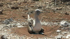 Front on view of a nesting blue-footed booby in the galalagos islands Stock Footage