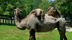 Bactrian Camel Stands in a Nature in Close-up Stock Footage
