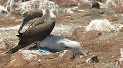 Blue-footed booby shading chick in the galalagos islands, ecuador Stock Footage