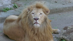 Beautiful Lion is the King of the Animals Stock Footage