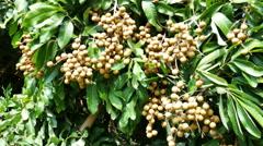 Longan orchards -Tropical fruits longan in Lamphun, Thailand Stock Footage