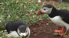 Puffins close up and put beaks together Stock Footage