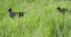 Pukeko chicks foraging in the grass in Auckland, New Zealand Stock Footage