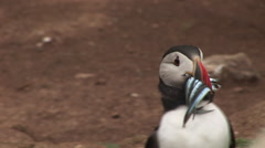 Puffin with fish in mouth UK Stock Footage