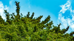 High fir tree on a background of blue sky. Stock Footage