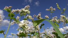 Flowering buckwheat in summer Stock Footage