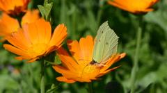 Brimstone butterfly picking pollen Stock Footage