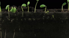 Time-lapse of growing soybeans in RGB + ALPHA matte format - stock footage