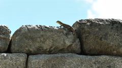 Machu picchu lizard close up zoom in Stock Footage