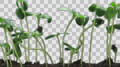 Time-lapse of germinating sunflower seeds with ALPHA channel Stock Footage