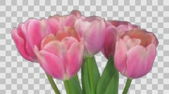 Time-lapse of opening pink tulips bouquet with ALPHA channel Stock Footage