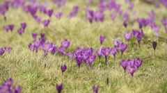 Crocus flowers field - stock footage