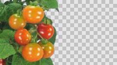 Time-lapse of growing and ripening tomato with ALPHA channel Stock Footage