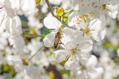 Bee collects nectar and pollen on a blossoming cherry tree branch. - stock photo