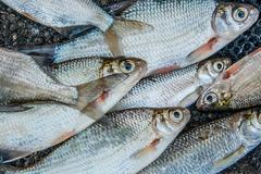 Freshwater fish just taken from the water. Catching fish - common bream, comm - stock photo