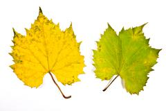 Autumn grapes leaf isolated on white background. With clipping path. - stock photo