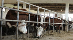 Cattle Hereford farm  Stock Footage