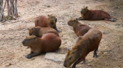 The Group of Capybara relaxing and sleeping on the ground in zoo Stock Footage