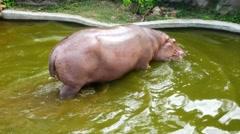 Hippopotamus walking to the pool and sleep in 4K resolution Stock Footage