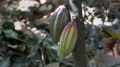 Close up of two yellow and purple cacao pods on a tree Stock Footage