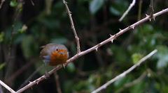 Robin taking off from a branch Stock Footage
