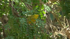 Yellow warbler in a tree on santa cruz in the galalagos Stock Footage