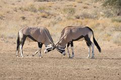 Oryx fighting Stock Photos