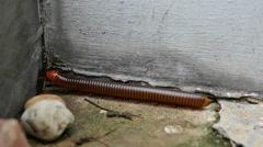 Large millipede walking Stock Footage