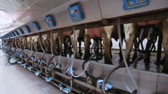 Automated milking of cows Stock Footage