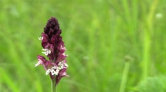 Wild beautiful orchid, Orchis ustulata, detail, endangered species, the UNESCO Stock Footage