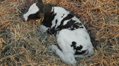 Little calf lying in the hay Stock Footage
