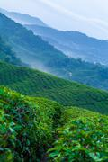 Cameron Highlands tea plantation in the morning mist Stock Photos