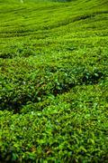 Tea plantation in Cameron Highlands at noon Stock Photos
