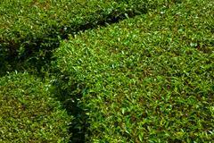 Tea plantation in Cameron Highlands at noon - stock photo